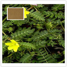Natural Tribulus terrestris Extract total saponin 40% 60% UV