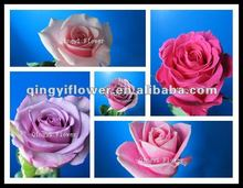 High Quality Fresh Cut Roses with Multicolor Color Different Types of Red Roses