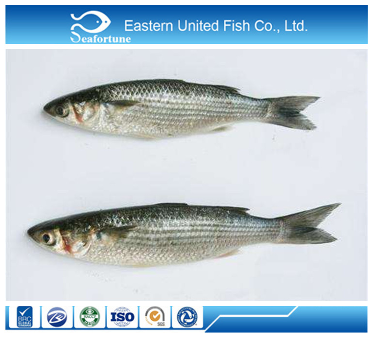 Hot sale seafood/Fish/Grey Mullet Whole Round (with roe/milt)/Mugil Cephalus