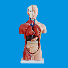 human anatomical model 42CM sexless torso 18 parts