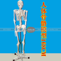 Chinese Human bone model 168CM /Human bone model 168CM