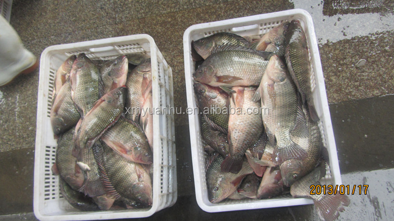 frozen fish tilapia whole sale