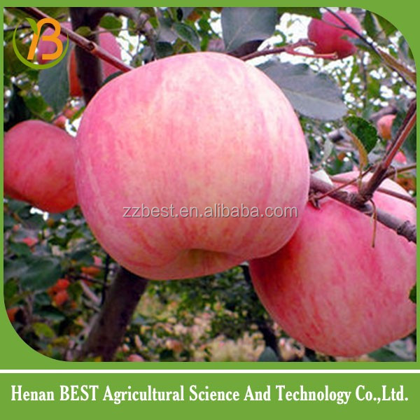 wholesale prices apple fruit/fresh apple fruit for sale/wood apple fruit