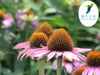 GMP Manufacutrer supply Echinacea Extract/Echinacea Extract Powder/Echinacea Purpurea from China