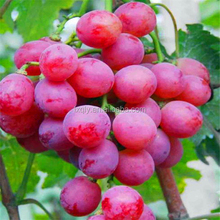 wholesale seeded organic grapes from China