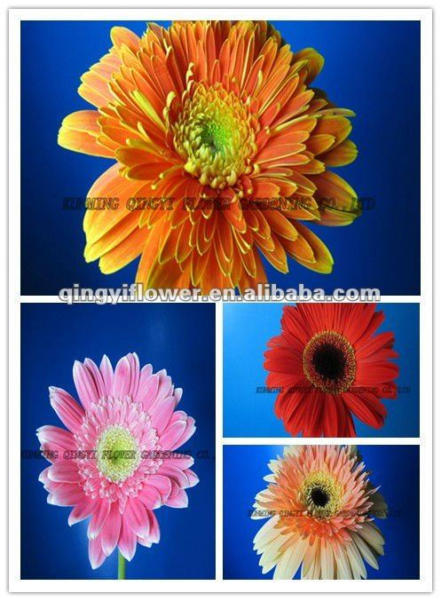 Export wholesale Fresh cut Flowers/Roses/Gerberas/Lily/Decorative Flowers