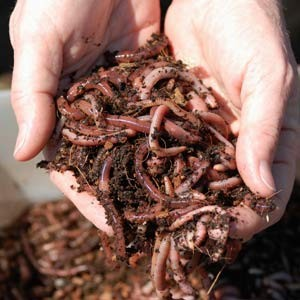 Frozen Eisenia Fetida compost worms
