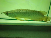 Chili red Arowana fishes available for sale