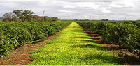 TEA AND COFFEE FARMS