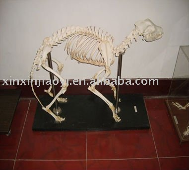 Dog skeleton model