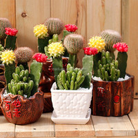 Supply Variety Cactus perennial flowers for sale