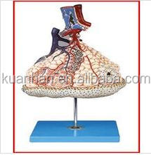 Lobule and Alveolus of Lung(anatomy model)