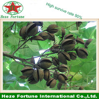 100% natural hybrid paulownia 9501 seeds from China