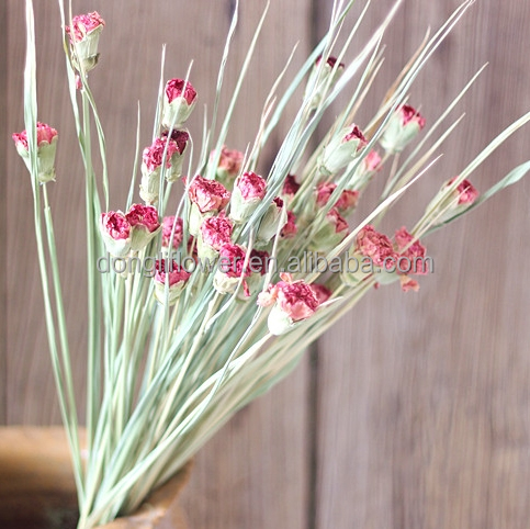 Dried carnation flower dried Dianthus caryophyllus