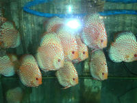 FRESHWATER FISH: RED PIGEON DISCUS
