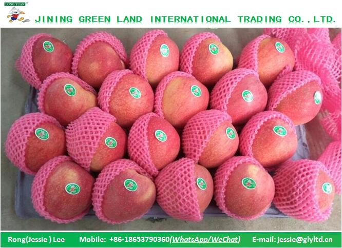 LOWEST CHINA QINGUAN APPLE PRICE SELECTED HIGH QUALITY APPLE
