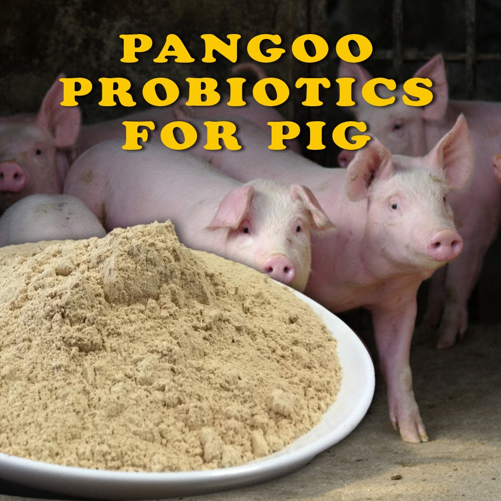 swine, hoggery, hog, piglet, sow, growing pigs,fattening pigs used digestive bacteria feed additives
