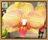 "Novelty Yellow Phalaenopsis Orchid Plant in 3.5"" or 12 cm Pot Taiwan Orchid Nursery Quality Orchid"