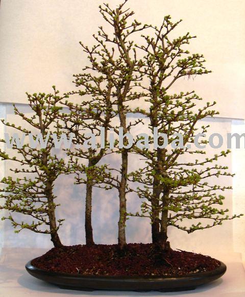 bonsais 5 baum l rche gruppe wald bonsai produkt id 104959157. Black Bedroom Furniture Sets. Home Design Ideas