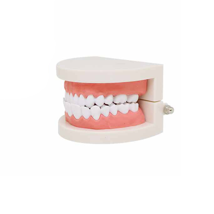 Dental Care Model Oral Teeth Hygiene Dental Model PVC Dental Tooth Model