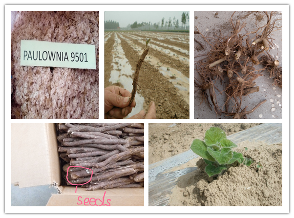Export paulownia seed,root and stump with planting skills
