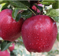 new fresh fruits red huaniu apples