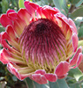 Supply small and big cut fresh protea flower with high quality