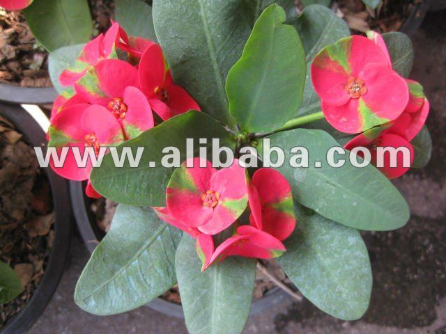 Euphorbia milii , Christ Thorn , Crown of Thorns , Lucky Plants