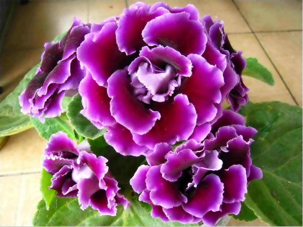 High Quality Gloxinia Seeds For Planting