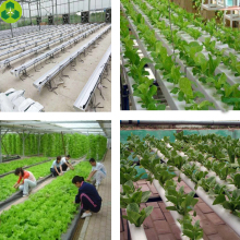 Multi Span plastic film used hydroponics farm commercial greenhouses