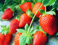 Strawberry Powder Flavor for Beverage and Food Manufacturer with Halal Certification