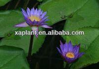 100% natural Blue lotus flower extract