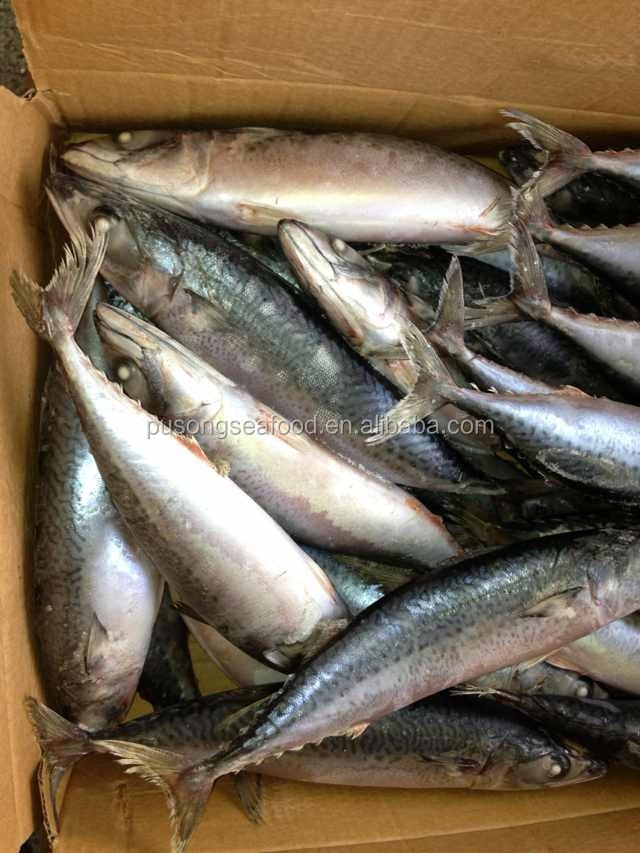 Pacific Mackerel fish for sale wild catched