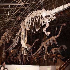 Museum Life Size Dinosaur Skeleton For Viewing