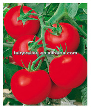 Newest Crop High Yield Hybrid F1 High Disease Resistance Indeterminate Tomato Seeds From China For Planting-Europe Red Lion