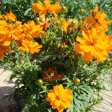 Touchhealthy supply Stock quality Tall Cosmos sulphureus seeds /wholesale flower seeds THF056
