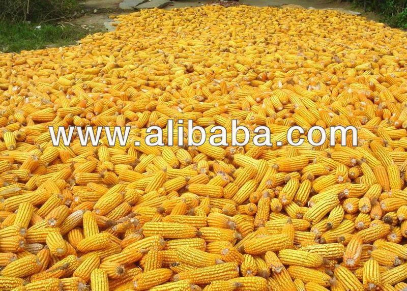 YELLOW MAIZE SEED/CORN - FEEDING ANIMALS - NON GMO-GENETICALLY MODIFIED