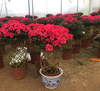 Beautiful Ornamental Plants Rhododendron Blooms bonsai