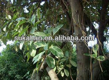 Rubber tree Biological organic bacterial fertilizer