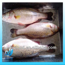 seafood frozen seabass supply