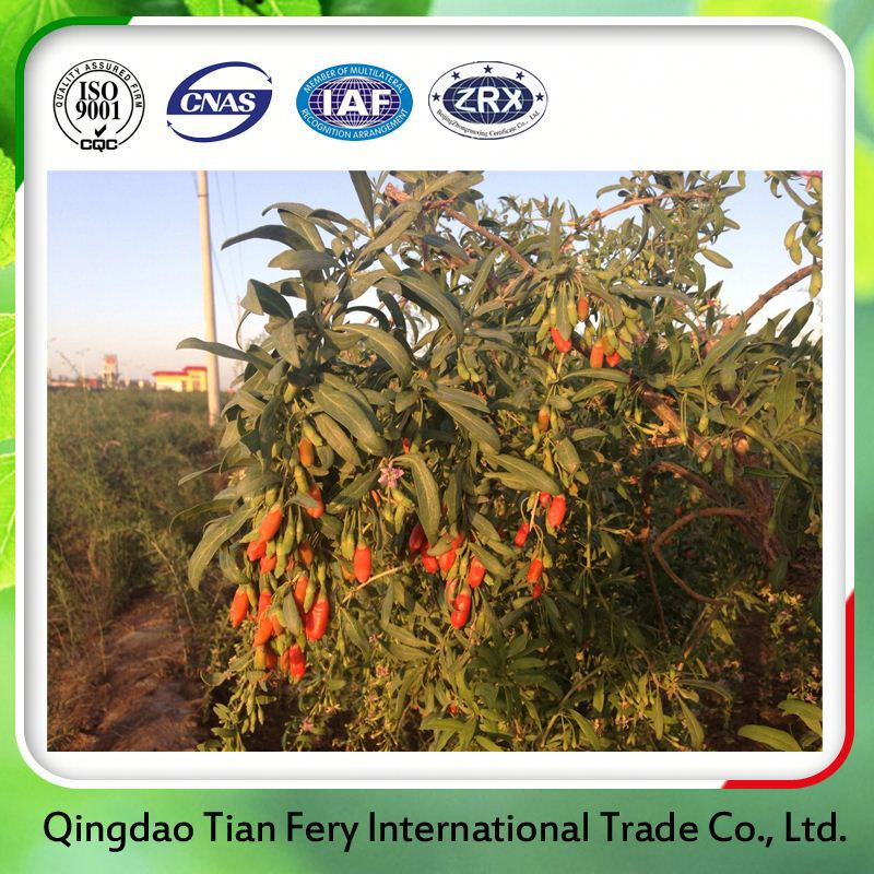 2015 Natural Goji Berries Inner Mongolia