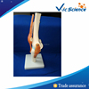 High Quality Artificial Knee Joint Model For School Teaching