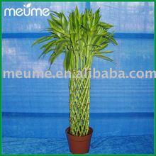 Promotion plante de bambou tress acheter des plante de bambou tress produits et articles en - Lucky bambou acheter ...