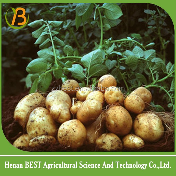 fresh potato for sale/fresh potato for exports to russia/fresh potato importers