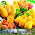 2013 new instant mango powder drink