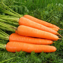 New Coming Good Taste Raw Carrots