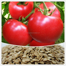 High quality tomato seeds hybrid F1 for sale