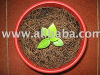 Anthurium Jenmanii Golden Seedling 5-6 Leaf