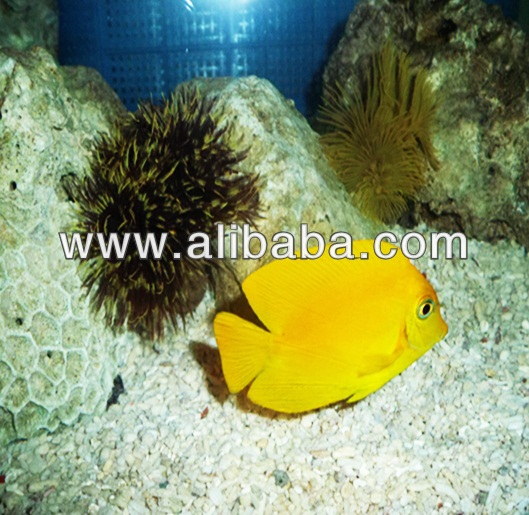 tropical fish yellow tang