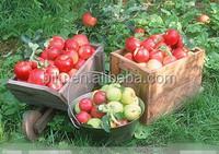 Fruit season fresh apple fruit for sales cheap apple fruit